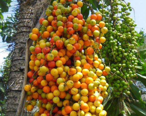 Coco de mucajá: Informação Nutricional