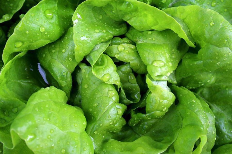 Alface orgânica informação nutricional
