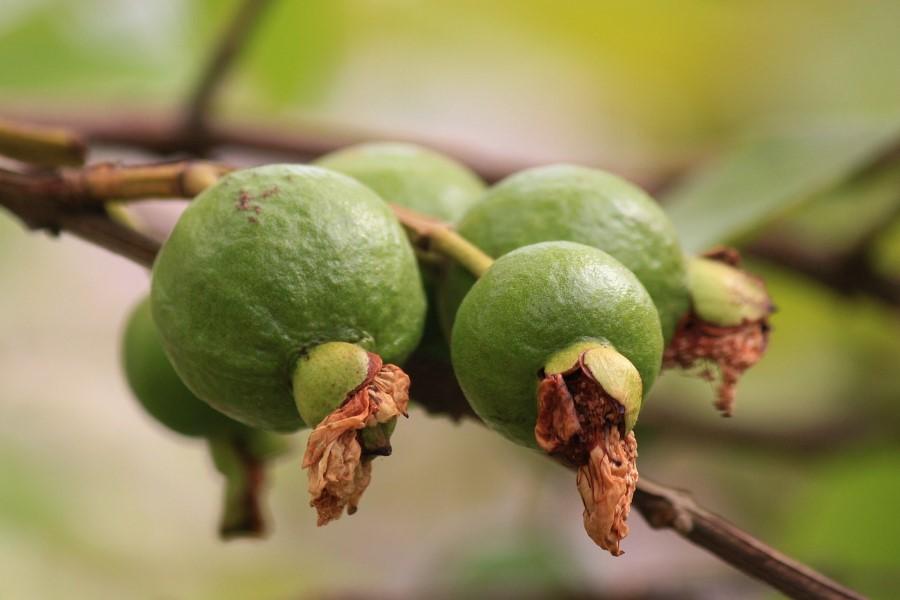 Araçá-açu (goiaba) informação nutricional