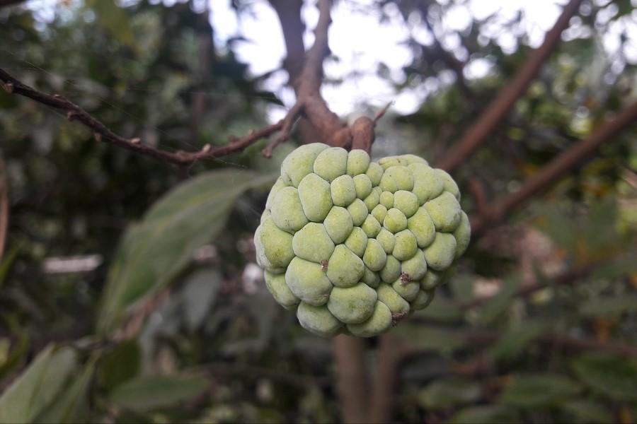 Pinha (fruta-do-conde) informação nutricional